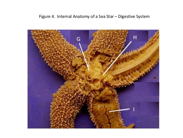 Sea star dissection powerpoint – Starfish Dissection Worksheet