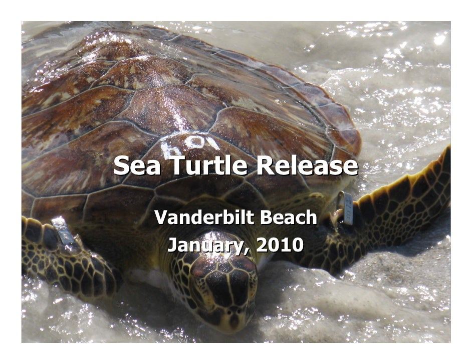 Sea Turtle Release   Vanderbilt Beach    January, 2010