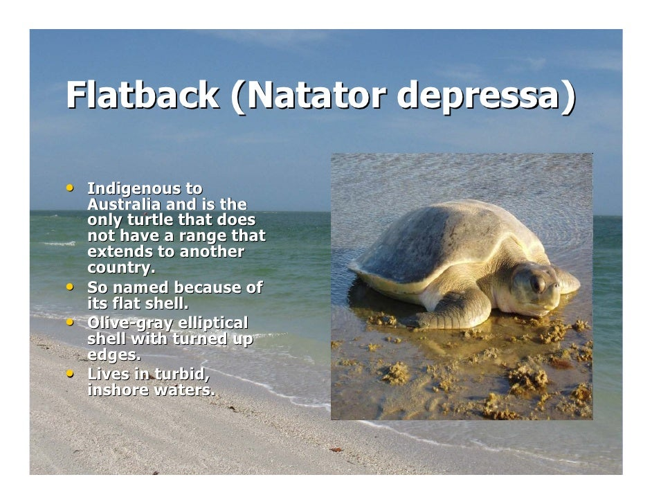 Flatback Sea Turtle Diagram Introduction To Electrical Wiring