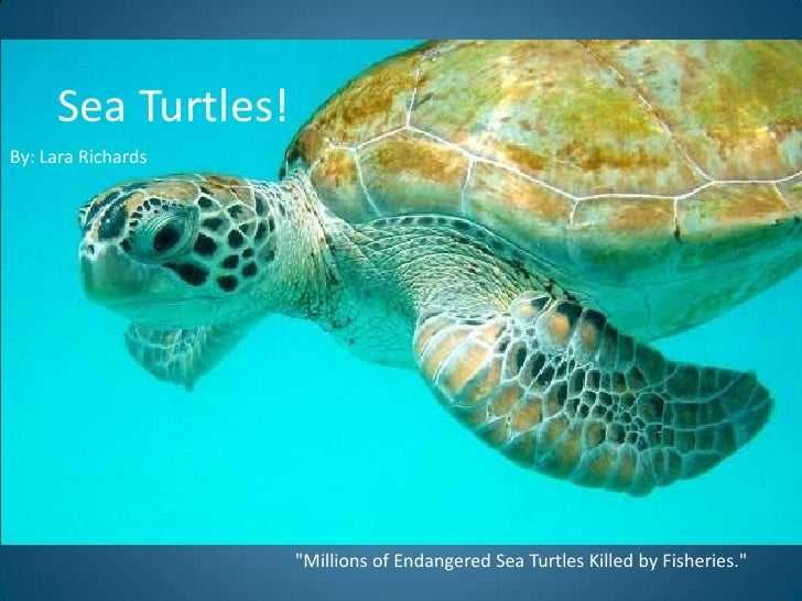 "Sea Turtles! <br />By: Lara Richards<br />""Millions of Endangered Sea Turtles Killed by Fisheries."" <br />"