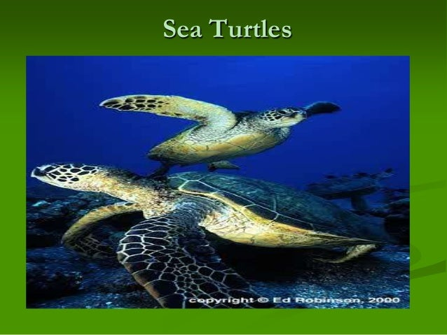 SEA TURTLES by Jeff Ripple (1996, Paperback, Revised) 79pp/GREAT PICTURES L@@K!