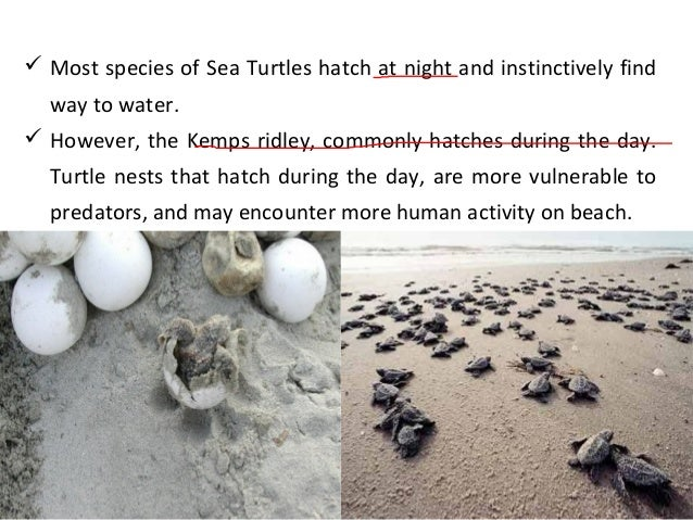 an introduction to sea turtles Read chapter 1 introduction: all six species of sea turtles found in us waters are listed as endangered or threatened, but the exact population sizes o.