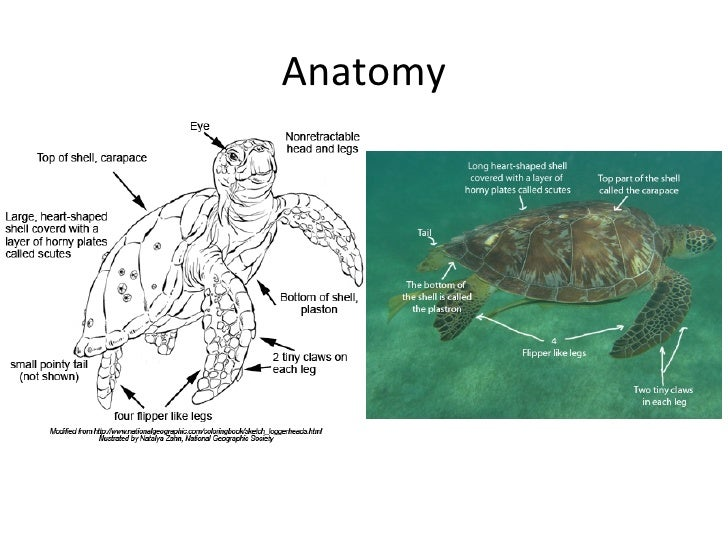 Sea Turtles Powerpoint