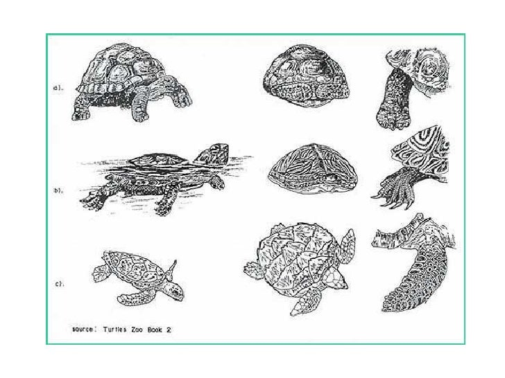 Movement• Streamlined carapace• Forelimbs for swimming• Hind limbs act as rudders