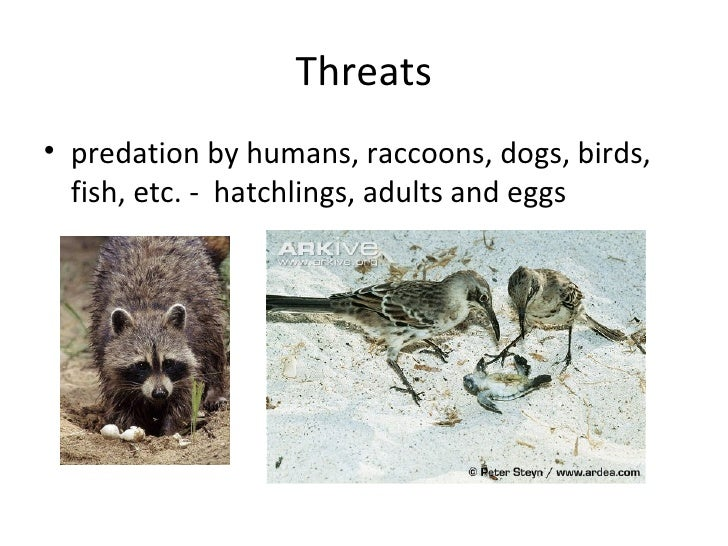 Threats• drowning in fishing nets, long lines• TEDs (turtle exclusion devices) on shrimp trawls• choking on floatable debr...