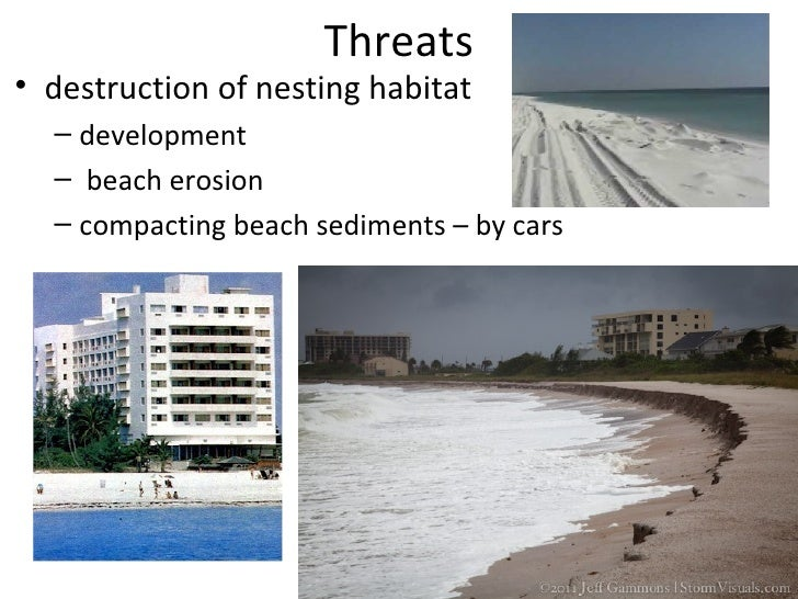 Threats• artificial lighting - disorients hatchlings• hit by boats• shells for jewelry, etc