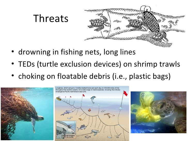 Sea turtles powerpoint