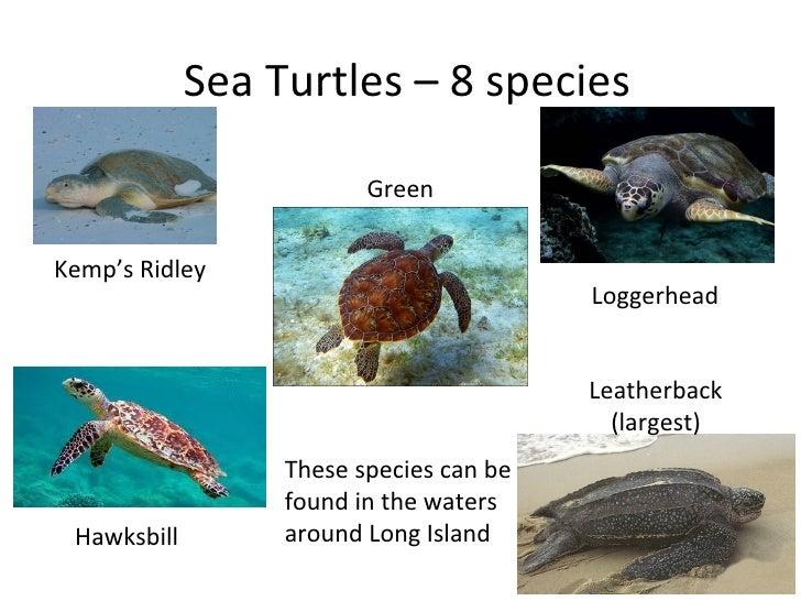 Sea Turtles – 8 species                         GreenKemp's Ridley                                         Loggerhead     ...