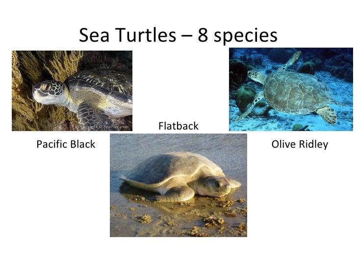 Sea Turtles – 8 species                  FlatbackPacific Black                  Olive Ridley