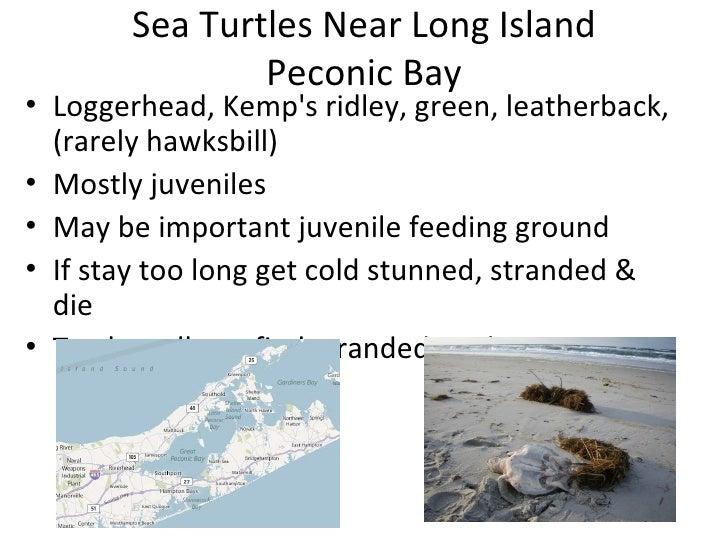 Sea Turtles Near Long Island               Peconic Bay• Loggerhead, Kemps ridley, green, leatherback,  (rarely hawksbill)•...