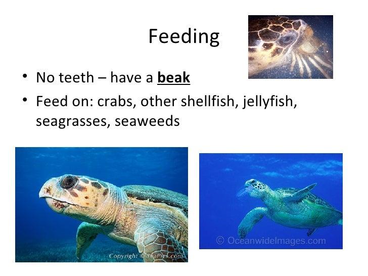 Feeding• No teeth – have a beak• Feed on: crabs, other shellfish, jellyfish,  seagrasses, seaweeds