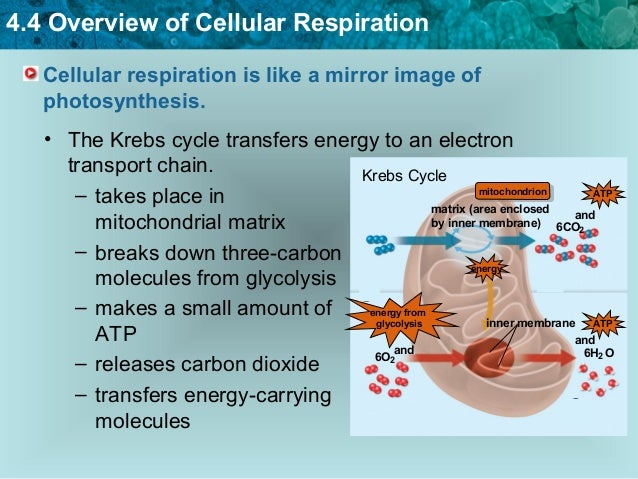 100 Cellular Respiration Answers