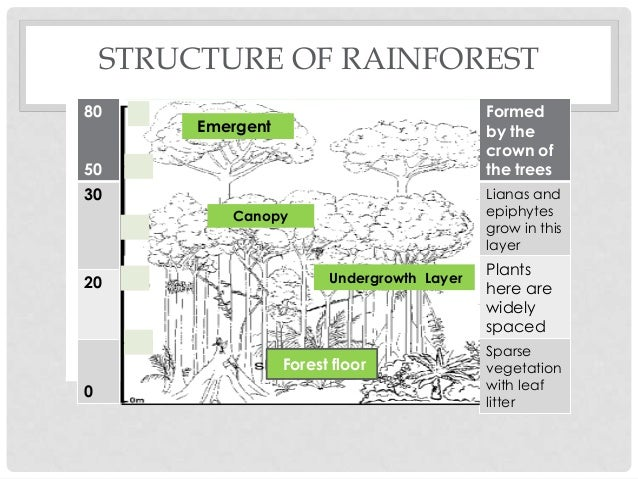 structure of rainforest