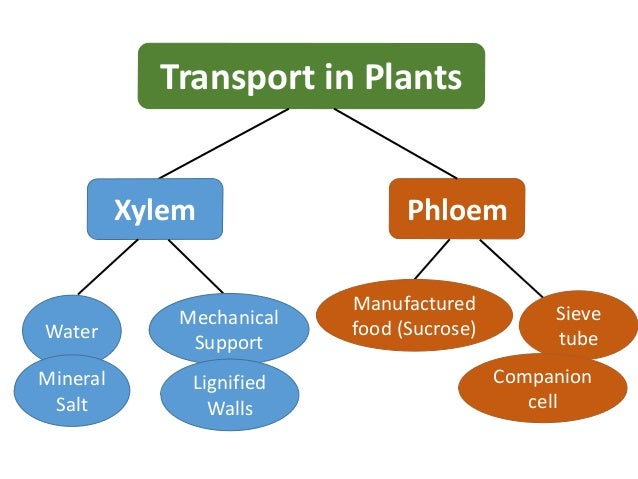 transport in plants xylem phloem water mineral salt mechanical support Xylem And Phloem In Plants