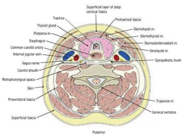 2nd year mbbs anatomy mcqs with explanation mandible 12 ccuart Image collections