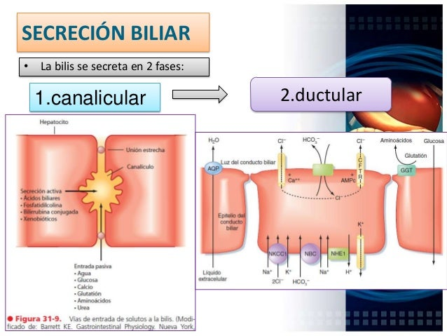 ÁCIDOS BILIARES (2.5gr) (PRIMARIOS, SECUNDARIOS) Glicina o taurina