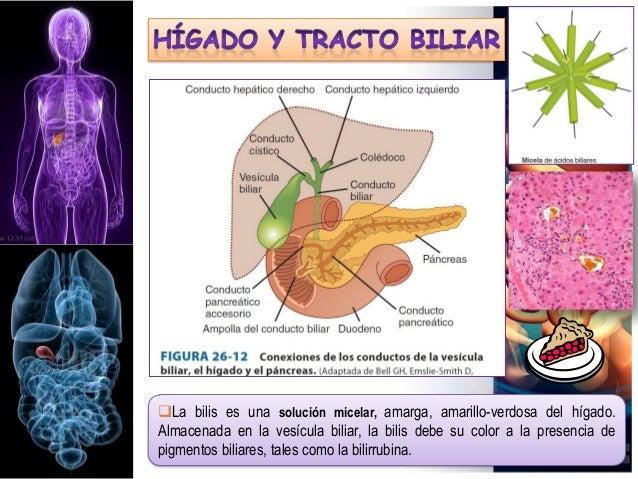 La bilis es una solución micelar, amarga, amarillo-verdosa del hígado. Almacenada en la vesícula biliar, la bilis debe su...
