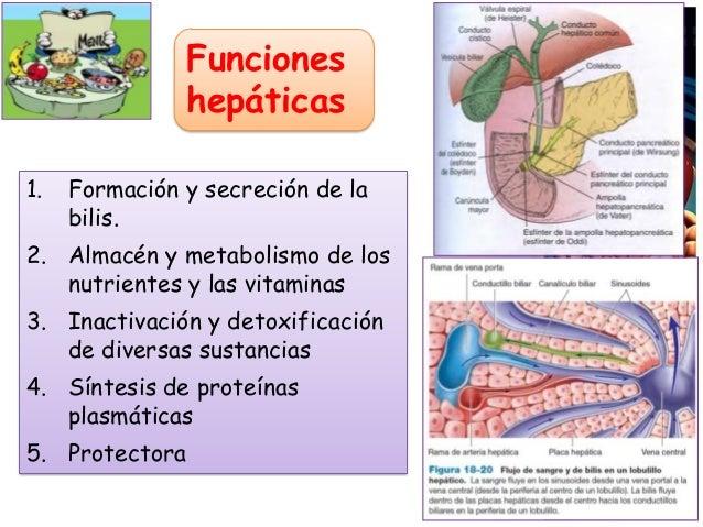 Funciones hepáticas 1. Formación y secreción de la bilis. 2. Almacén y metabolismo de los nutrientes y las vitaminas 3. In...