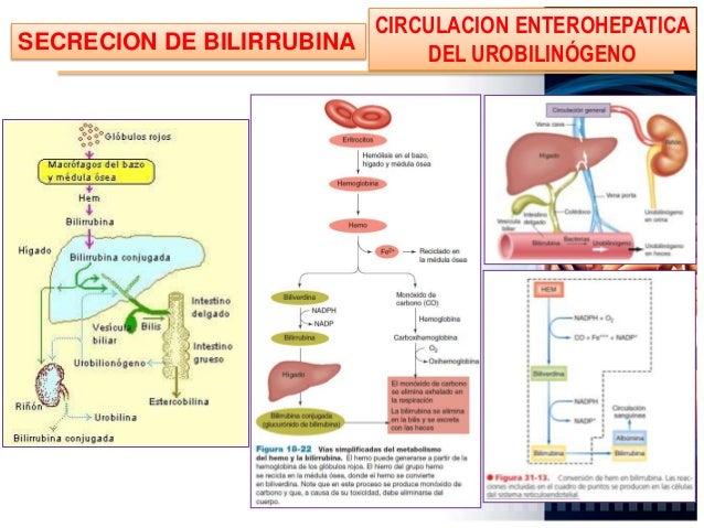 • Los hepatocitos secretan la porción inicial • La bilis pasa a los canalículos biliares situados entre los hepatocitos, l...
