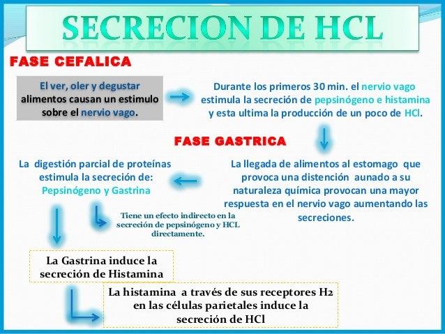 Secrecion y regulacion del HCl