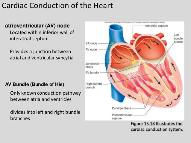 worksheet heart and ventricular av The cardiac cycle this module will form the foundation of your cardiac knowledge and enable you to understand workings of the heart that will assist you in this allows the av valves to open as their cusps passively drop downwards the pressure change additionally permits blood to flow into the ventricles from the atria.