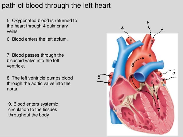 Section 1 Chapter 15 Anatomy Of The Heart
