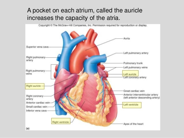 Section 1, chapter 15: anatomy of the heart