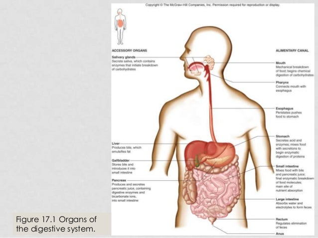 54385 besides 8965868 also APIINotes8 20Digestive 20Anatomy also 54385 also The nervous system. on organs of alimentary c the 4 layers