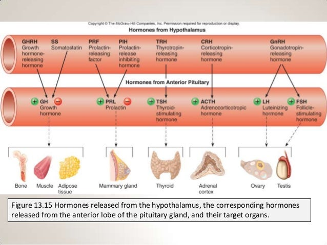 Section 2, chapter 13: pituitary gland