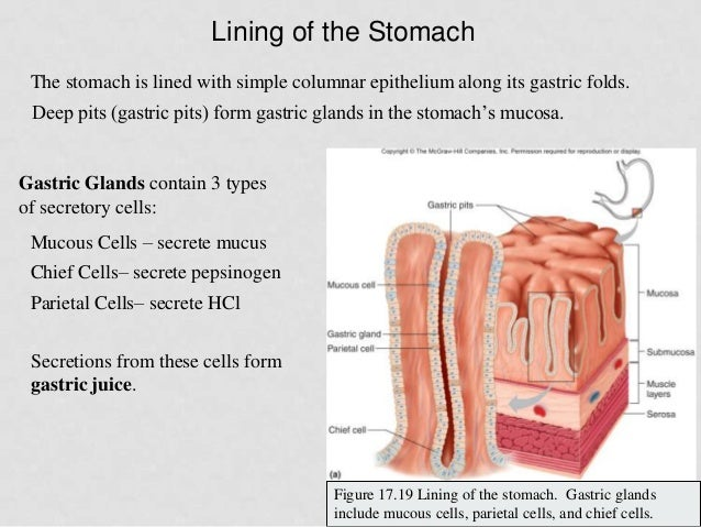 what is a gastric gland