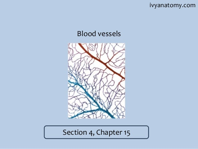 ivyanatomy.com  Blood vessels  Section 4, Chapter 15