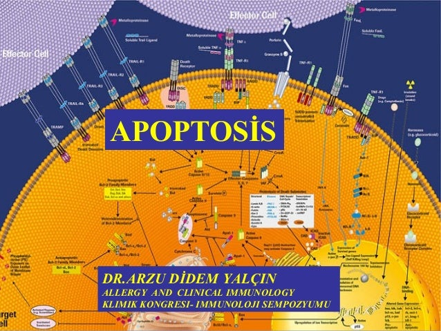 APOPTOSİS  DR.ARZU DİDEM YALÇIN  ALLERGY AND CLINICAL IMMUNOLOGY  KLIMIK KONGRESI- IMMUNOLOJI SEMPOZYUMU