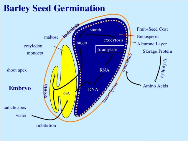 seeds physiology of development and germination pdf