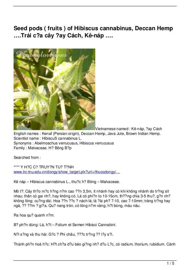 Seed pods ( fruits ) of Hibiscus cannabinus, Deccan Hemp….Trái c?a cây ?ay Cách, Kê-náp ….                                ...
