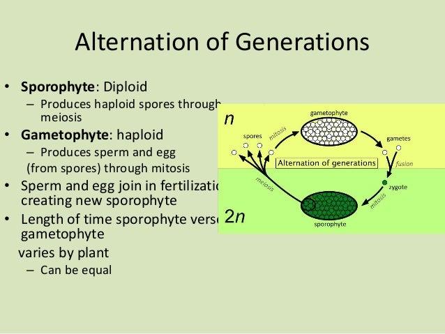 Alternation of Generations • Sporophyte: Diploid – Produces haploid spores through meiosis • Gametophyte: haploid – Produc...