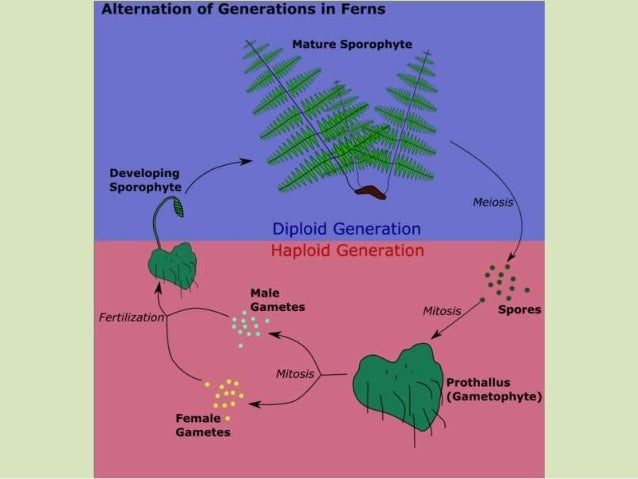 Fern terms • Prothallus: gametophyte, small and heart shaped • Sporangia: spore producing structure • Sorus: cluster of sp...