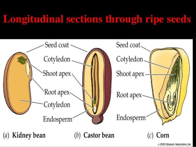 endosperm formation Get an answer for 'what is non-endospermic seed' and find homework help for the word endosperm means tissue is formed that takes up most of the seed and.