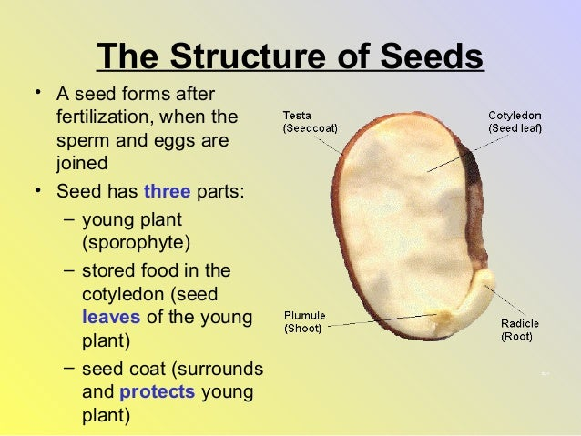 seed structure and function diagram seed plants