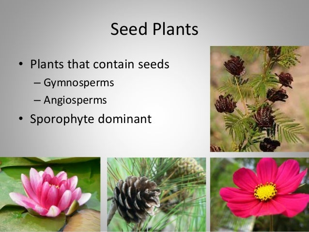 Seed Plants • Plants that contain seeds – Gymnosperms – Angiosperms • Sporophyte dominant