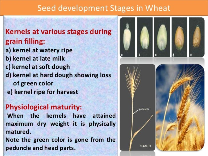 Seed production technology of wheat