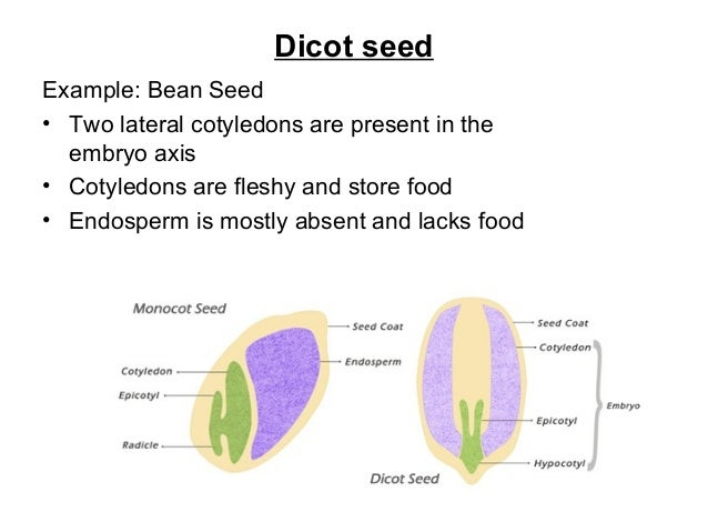 Seeds 2016 10 Examples Of Monocot Plants