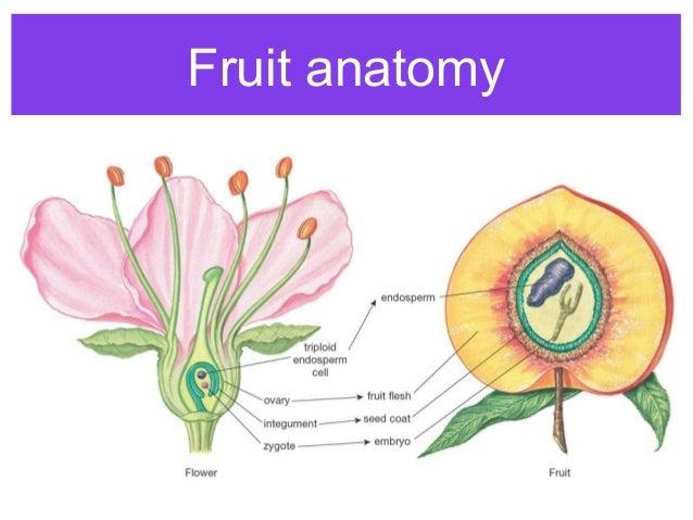 capsule fruit poppy