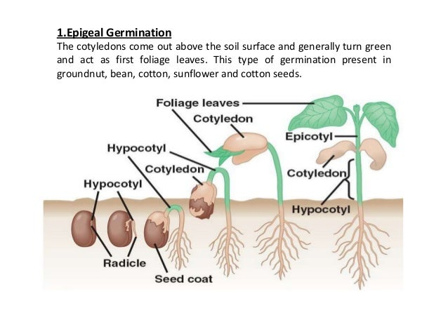 seed germination lab report We will conduct a 400 seed germination test & a 200 seed cold test on the blend for more in-depth information on isu seed lab testing methods, visit.