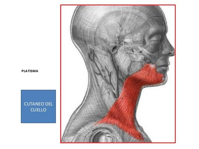 Segmento ii- -anatomía-del-cuello-triángulos