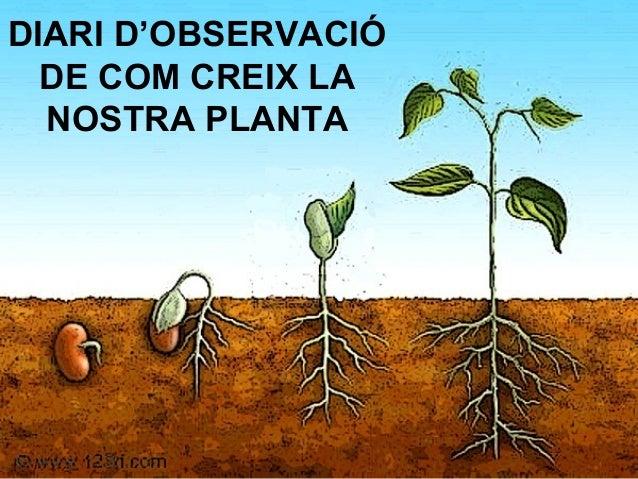DIARI D'OBSERVACIÓ DE COM CREIX LA NOSTRA PLANTA
