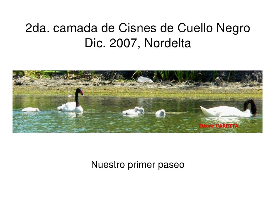 2da. camada de Cisnes de Cuello Negro          Dic. 2007, Nordelta               Nuestro primer paseo