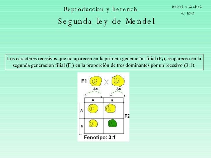 Reproducción y herencia Biología y Geología 4.º ESO Segunda ley de Mendel Los caracteres recesivos que no aparecen en la p...