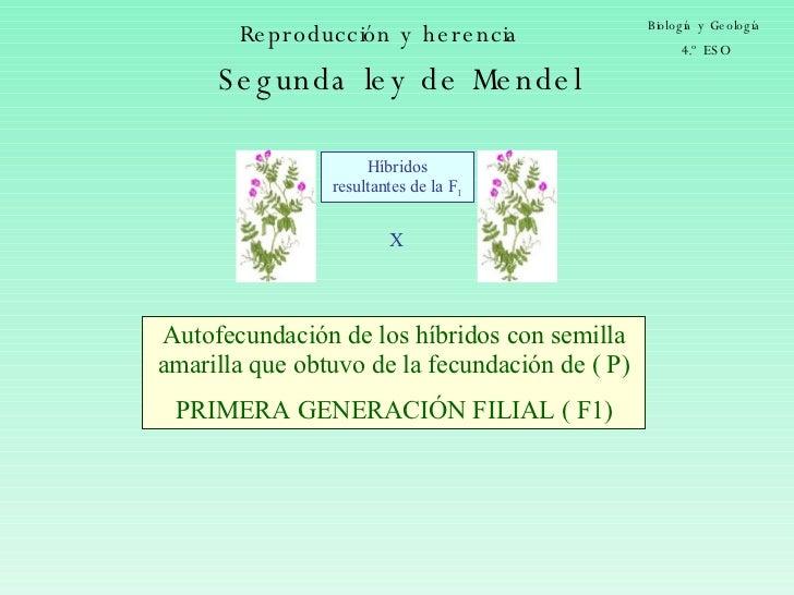 Reproducción y herencia Biología y Geología 4.º ESO X Híbridos resultantes de la F 1 Autofecundación de los híbridos con s...