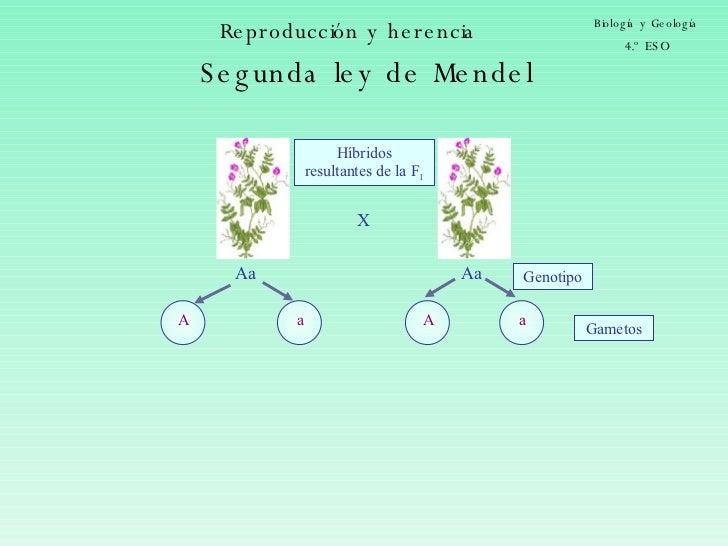 Reproducción y herencia Biología y Geología 4.º ESO Aa Gametos X Genotipo Aa Híbridos resultantes de la F 1 Segunda ley de...