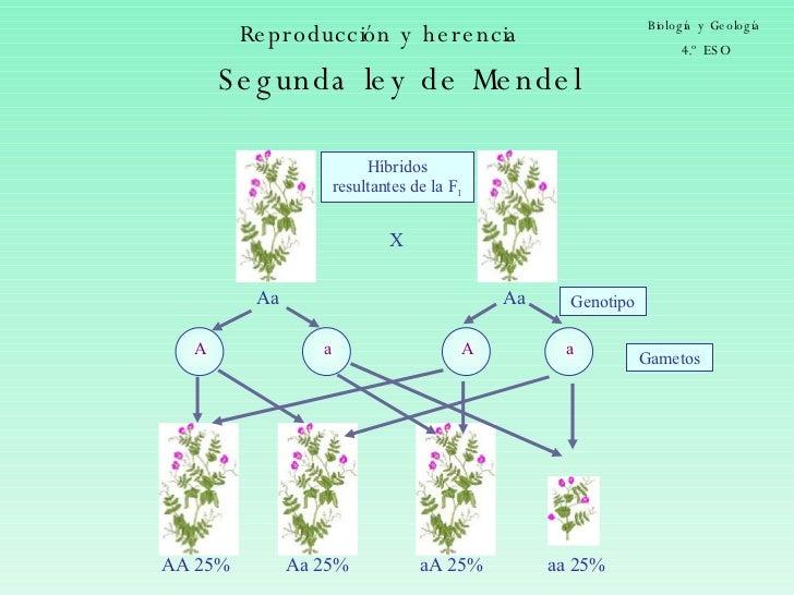 Reproducción y herencia Biología y Geología 4.º ESO Aa Gametos X Genotipo Aa Híbridos resultantes de la F 1 AA 25% aA 25% ...